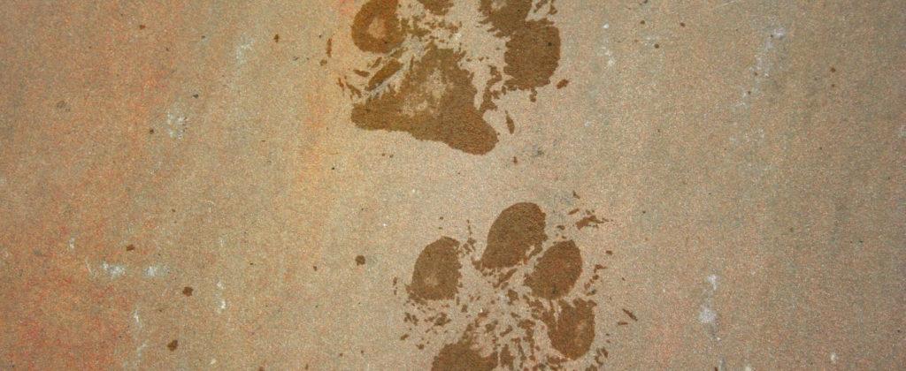 wet pawprints